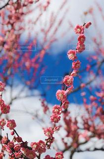 真っ直ぐ伸びる梅の写真・画像素材[3016205]