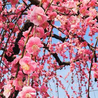 木の上のピンクの花のグループの写真・画像素材[3016219]