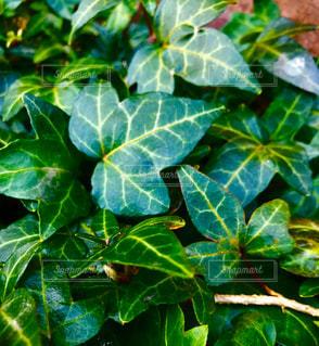 緑の植物の写真・画像素材[3031433]