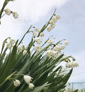 花,春,屋外,白,お花,白い,外,たくさん,鈴蘭,すずらん,揺れる,ゆれる