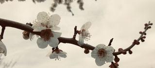 梅の写真・画像素材[3043474]