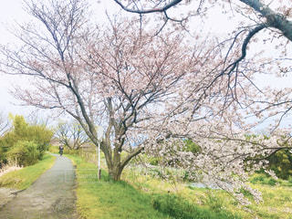 空,花,春,桜,木,屋外,景色,小道,草,樹木,道,草木,サイクリングロード,さくら,ブロッサム