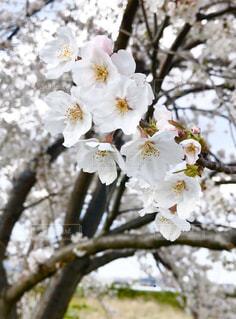 桜の写真・画像素材[3070245]