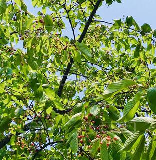 桜の葉と実の写真・画像素材[3149560]
