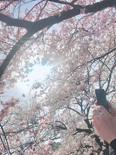 花,春,屋外,桜の花,さくら
