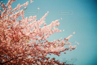 風景,空,花,桜,樹木,フィルム写真