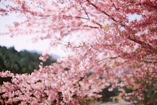 花,春,樹木,桜の花,フィルム写真,さくら