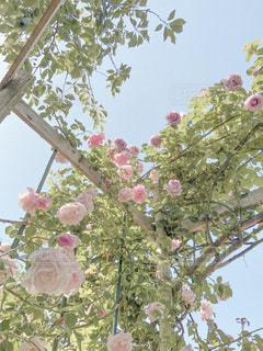 薔薇の写真・画像素材[3407525]