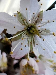 花,春,桜,草木,スタート,3月,開花,フローラ