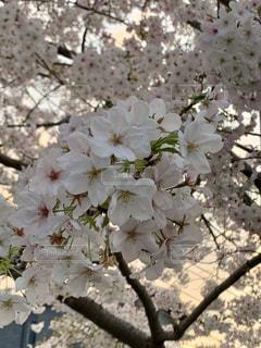 花,春,桜,木,花見,お花見,イベント,桜の花,さくら,大島桜