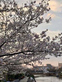 花,春,桜,木,花見,サクラ,お花見,イベント,さくら,大島桜