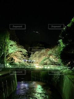 花,桜,夜,夜景,木,川,花見,夜桜,サクラ,お花見,イベント,さくら