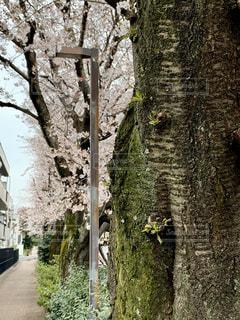 花,春,桜,木,花見,サクラ,お花見,道,イベント,さくら