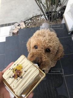 犬,ケーキ,動物,茶色,誕生日,プードル,大型犬,待て,スタンダードプードル