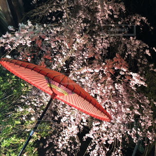 春,桜,傘,屋外,京都,ピンク,夜桜