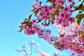 花,春,桜の花,ブロッサム