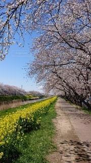 風景,空,花,屋外,青,川,菜の花,景色,満開,樹木,土手,昼間,草木,さくら,ブロッサム