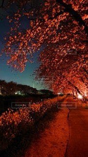 風景,花,春,桜,夜,川,季節,夜桜,景色,樹木,灯り,土手