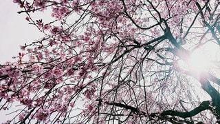 風景,花,春,屋外,ピンク,季節,景色,光,樹木,さくら