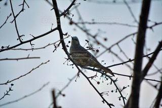 風景,空,動物,鳥,野生動物,屋外,枝,樹木,野鳥,ヒヨドリ