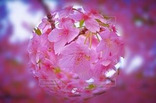 花,春,魚眼,河津桜,さくら,ブルーム,ブロッサム
