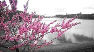 花,春,ピンク,梅,水辺,ブロッサム