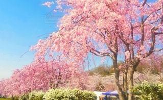 空,花,春,樹木,桜の花,さくら,ブロッサム