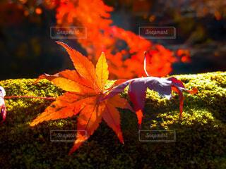 苔とモミジの写真・画像素材[3718278]