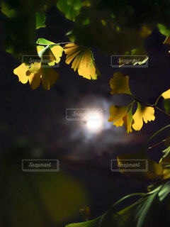 月光に冴えるイチョウの写真・画像素材[3936687]