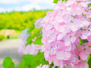紫陽花のクローズアップの写真・画像素材[4557552]