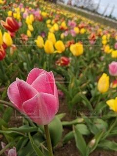 花,春,季節,花びら,チューリップ,草木,ブルーム,フローラ