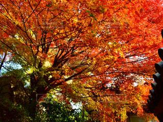 秋,紅葉,森林,屋外,綺麗,葉,オレンジ,樹木,明るい,草木,ブナ,カエデ