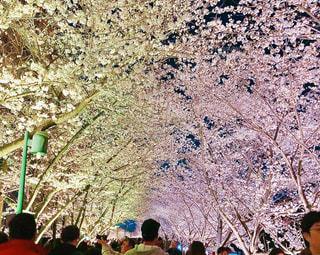 花,春,桜,屋外,綺麗,夜桜,満開,樹木,人物