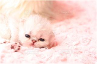 子ども,猫,動物,ピンク,白,かわいい,ふわふわ,ねこ,子猫,肉球,チンチラ,ペルシャ,綿帽子,綿菓子,こねこ