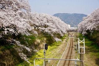 空,花,春,桜,木,屋外,ピンク,黄色,線路,菜の花,花見,山,満開,樹木,お花見,旅行,イベント,鉄道,草木