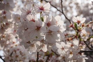 花,春,桜,木,ピンク,花見,景色,満開,お花見,イベント,桜の花,さくら,ブロッサム