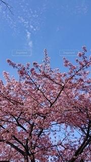 空,花,春,屋外,ピンク,綺麗,晴れ,青空,樹木,草木,桜の花,さくら,ぽかぽか,ポカポカ,ブロッサム,カワズザクラ