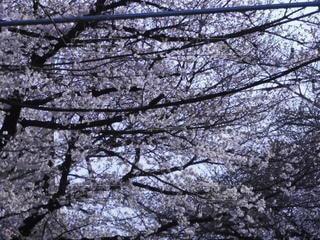 自然,空,花,森林,木,屋外,満開,樹木,草木,さくら,ブロッサム,桜トンネル