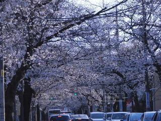 桜,屋外,車,花見,満開,樹木,トンネル,通り,車両,ピーク,桜トンネル,春ピーク