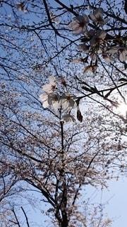 空,花,桜,森林,木,屋外,満開,樹木,日中