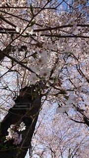 空,花,春,桜,木,屋外,満開,樹木,桜の花,卒業式,さくら,ブロッサム