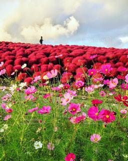 空,花,屋外,ピンク,赤,雲,花びら,鮮やか,コキア,秋桜,カラー,草木