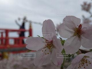 花,桜,背景,寺