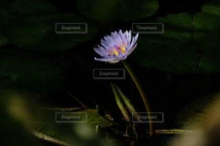 蓮の花咲く小さな池の写真・画像素材[3006921]
