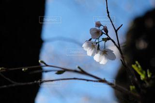 桜咲く季節の写真・画像素材[3036839]