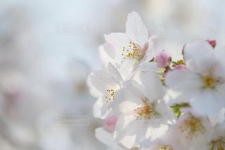 透明感のある桜。さくら咲く春のひと時。の写真・画像素材[3042978]