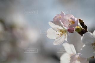 さくら咲く季節の写真・画像素材[3042979]