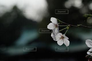 静かに咲く桜の花。の写真・画像素材[3047326]