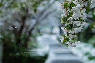 雪の後、桜咲く季節の公園の道の写真・画像素材[3060930]