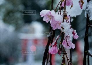 春の雪。神社の桜。の写真・画像素材[3060928]